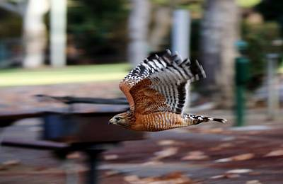 Photograph - Red-shouldered Hawk Flying By by Christy Pooschke
