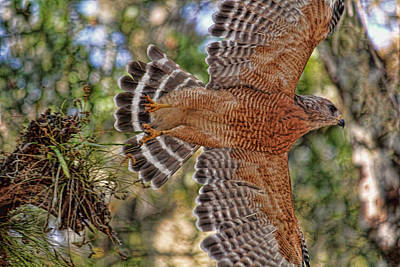 Photograph - Red-shouldered Hawk In Flight  by HH Photography of Florida