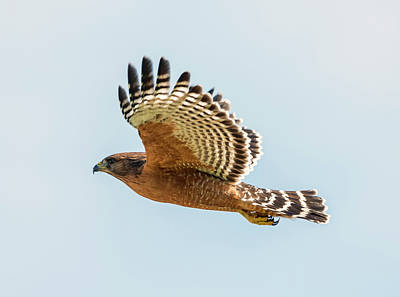 Red Shouldered Hawk Photograph - Red-shouldered Hawk In Flight by Loree Johnson