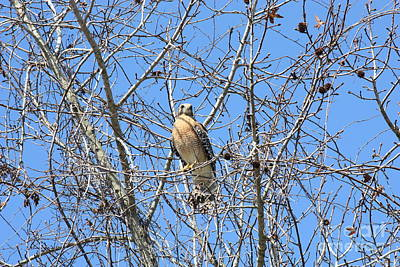 Red-shouldered Hawk In Winter Tree Art Print by Carol Groenen