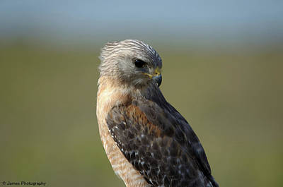 Photograph - Red-shouldered Hawk by James Petersen
