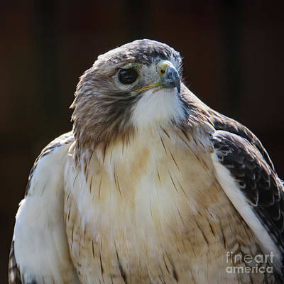 Photograph - Red-shouldered Hawk  by John Greco