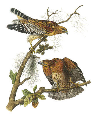 Red-shouldered Hawk Print by John James Audubon