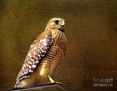Photograph - Red-shouldered Hawk by Judi Bagwell