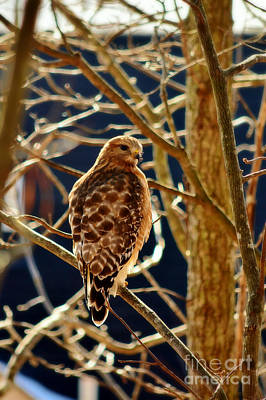 Photograph - Red Shouldered Hawk by Kelly Nowak