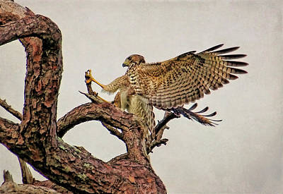 Photograph - Red-shouldered Hawk Landing 2 by HH Photography of Florida
