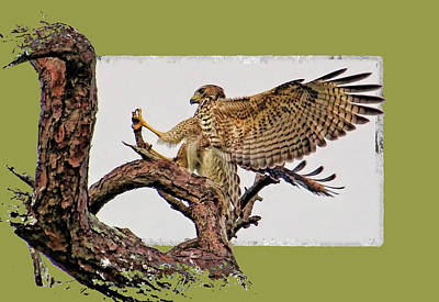 Photograph - Red-shouldered Hawk Landing by HH Photography of Florida