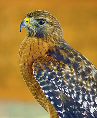 Photograph - Red Shouldered Hawk by Larry Nieland