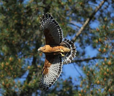 Photograph - Red Shouldered Hawk by Liz Vernand