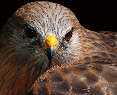 Photograph - Red-shouldered Hawk by Lorenzo Cassina