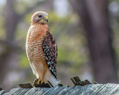 Photograph - Red-shouldered Hawk by Lynne Jenkins
