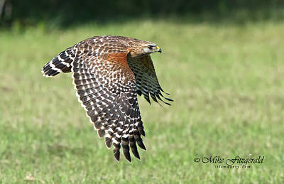 Photograph - Red-shouldered Hawk by Mike Fitzgerald