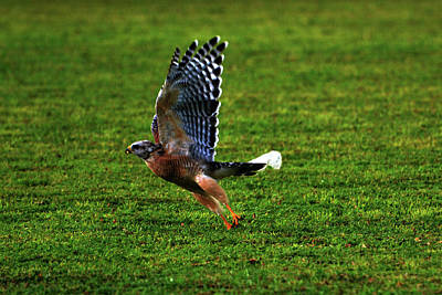 Brown Anole Photograph - Red Shouldered Hawk Miss by Don Columbus