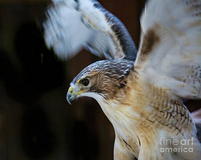 Photograph - Red-shouldered Hawk No.2 by John Greco