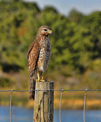 Photograph - Red-shouldered Hawk On A Fence Post by HH Photography of Florida