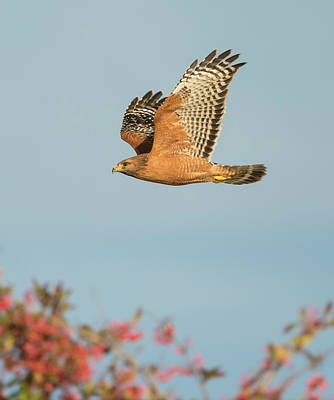 Photograph - Red-shouldered Hawk Over Toyon by Loree Johnson