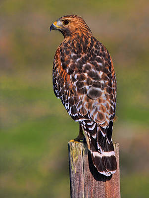 Red Shouldered Hawk Portrait Art Print
