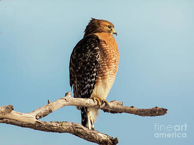 Red-shouldered Hawk Portrait Print by Robert Frederick