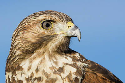 Photograph - Red-shouldered Hawk Portrait - Winged Ambassador by Dawn Currie