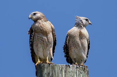 Photograph - Red-shouldered Hawks Disagree by Phil Stone