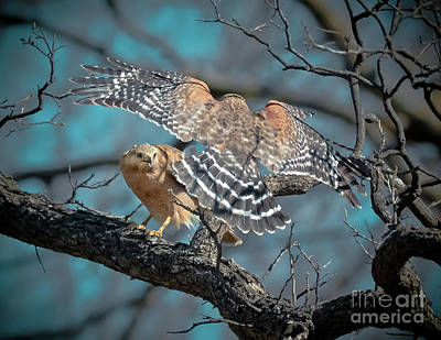 Red Shouldered Hawk Photograph - Red Shouldered Rondezvous by Robert Frederick