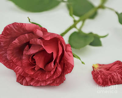 Photograph - Single Red Rose by Olga Hamilton