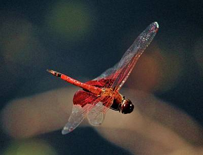 Photograph - Red Skimmer In Mid-air by Cynthia Guinn