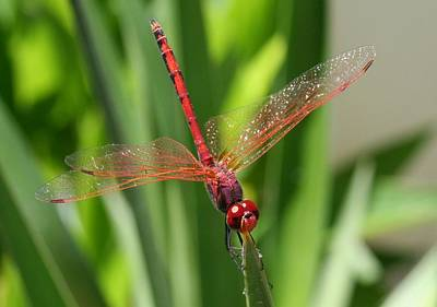 Photograph - Red Skimmer Or Firecracker Dragonfly Closeup by Tracey Harrington-Simpson