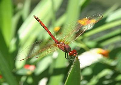 Photograph - Red Skimmer Or Firecracker Dragonfly by Tracey Harrington-Simpson