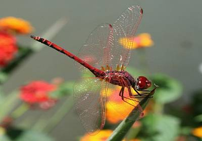 Photograph - Red Skimmer Or Firecracker Dragonfly With Lantana Background by Tracey Harrington-Simpson