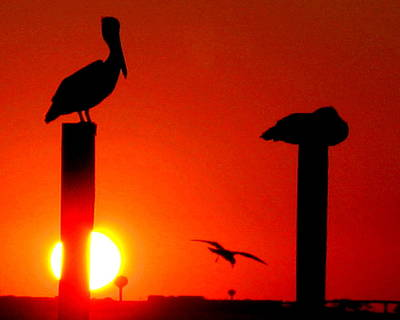 Photograph - Red Sky Pelican by Larry Beat