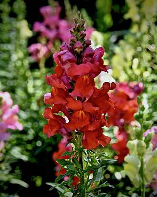 Photograph - Red Snapdragon by Carol Bradley