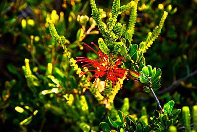 Photograph - Red Spider Flower by Miroslava Jurcik