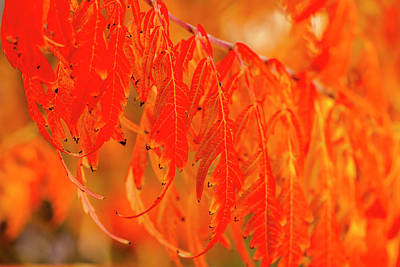Photograph - Red Split Leaf Sumac Leaves by Teri Virbickis