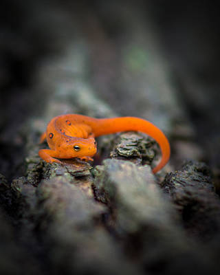 Red Eft Photograph - Red Spotted Newt by Chris Bordeleau