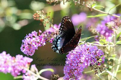 Photograph - Red Spotted Purple Admiral Limenitis Arthemis 8816 by Captain Debbie Ritter