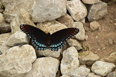 Photograph - Red-spotted Purple Brush-foot by Mark McReynolds