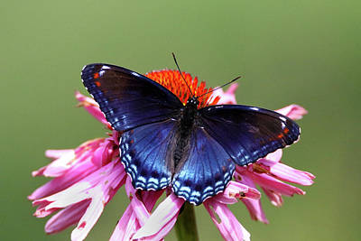 Photograph - Red Spotted Purple Butterfly by Brook Burling