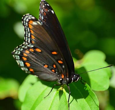 Photograph - Red Spotted Purple Butterfly II  by Maria Urso