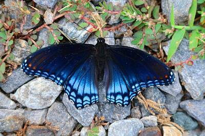 Photograph - Red-spotted Purple Butterfly by Kathryn Meyer