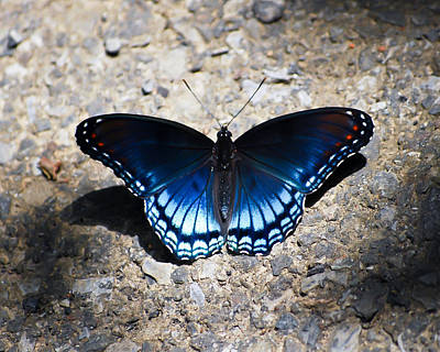 Photograph - Red-spotted Purple Butterfly by Kerri Farley