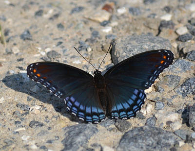 Photograph - Red Spotted Purple - Butterfly by rd Erickson