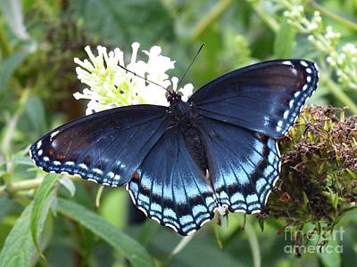Studio Grafika Patterns - Natures Gift - Red-Spotted Purple by Cindy Treger