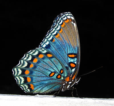 Photograph - Red Spotted Purple  by Lara Ellis