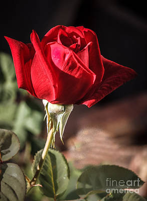 Rosaceae Photograph - Red Spring Rose by Robert Bales