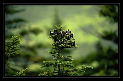 Photograph - Red Spruce Cones by Sherman Perry