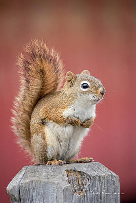 Dan Beauvais Royalty Free Images - Red Squirrel 7782 Royalty-Free Image by Dan Beauvais