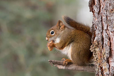 Photograph - Red Squirrel by Celine Pollard
