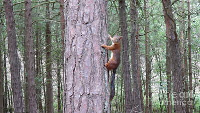 Photograph - Red Squirrel Climbing by Em Fairley