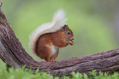 Photograph - Red Squirrel Curved Log by Peter Walkden